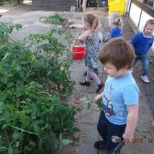 Picking our tomatoes